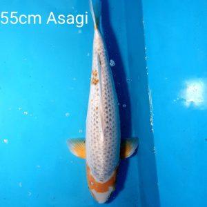 55cm Asagi ref0117