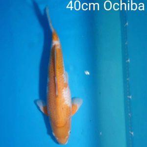 40cm Ochiba ref0114