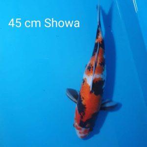 45cm Showa ref0113