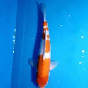 45cm Kohaku ref0121