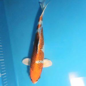 35cm Kujaku ref0133