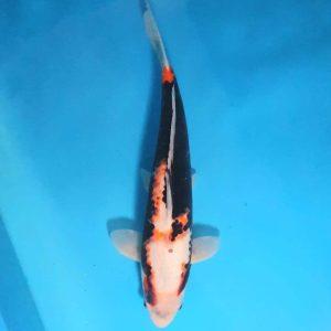 35cm Kawarimono ref0141
