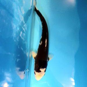 35cm Shiro Utsuri ref0135