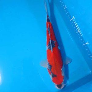35cm Goshiki ref0131