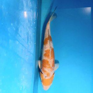 38cm Ochiba ref0139